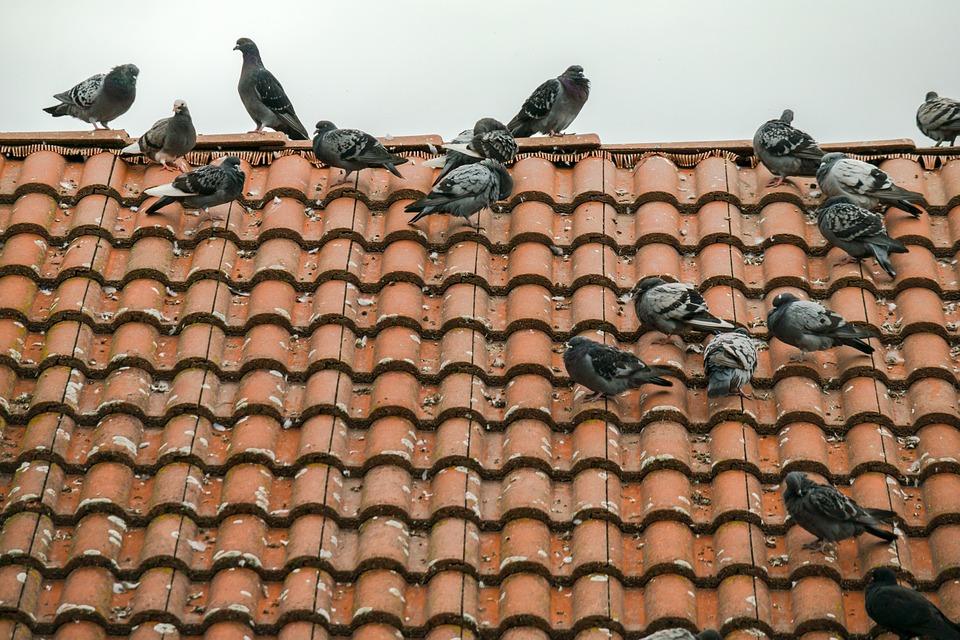 pigeons-949992_960_720